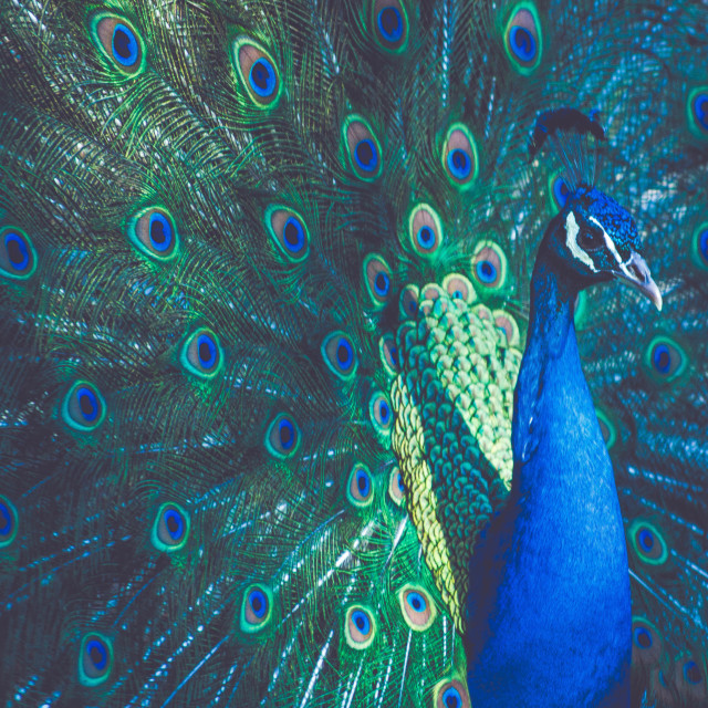 """Peacock"" stock image"