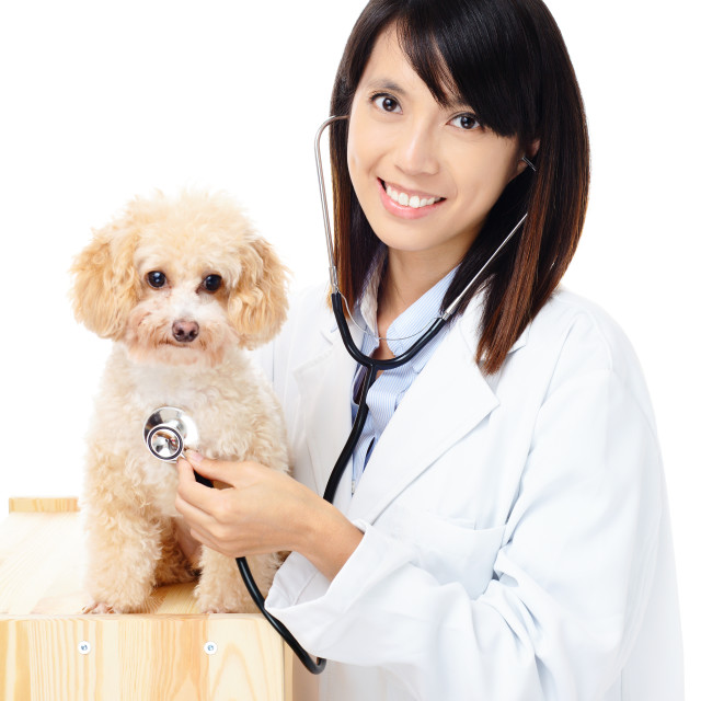 """Female veterinarian diagnosis poodle dog"" stock image"