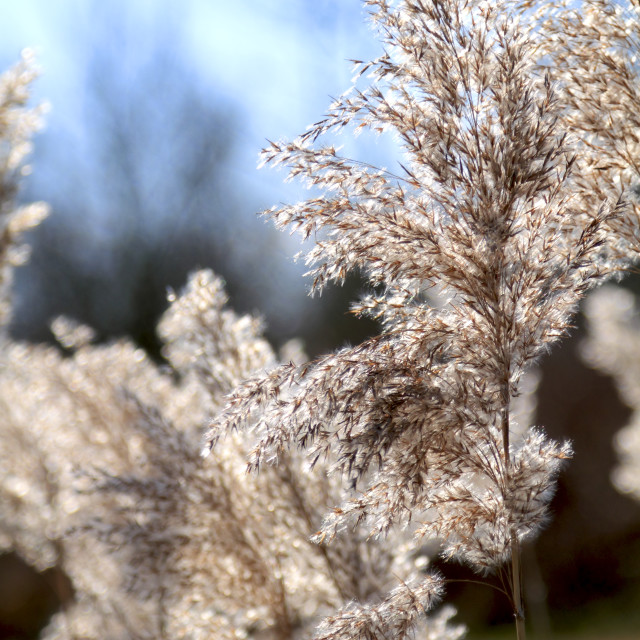 """Tall winter grass in sunlight"" stock image"