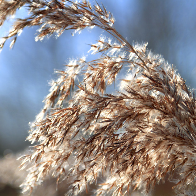 """""""Close up of tall winter grass"""" stock image"""