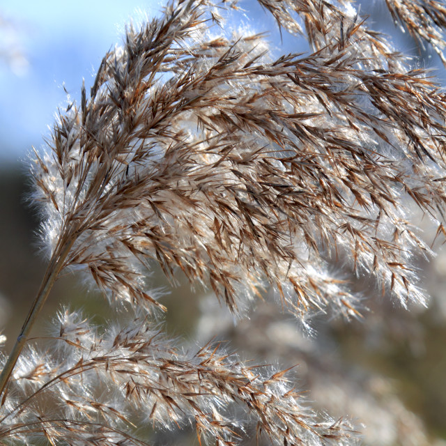 """Close up of tall winter feathery grass"" stock image"