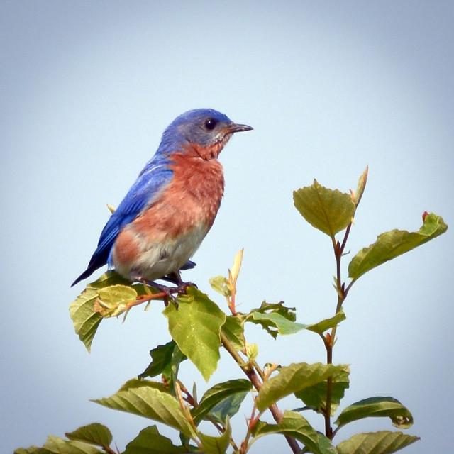 """Eastern Bluebird"" stock image"