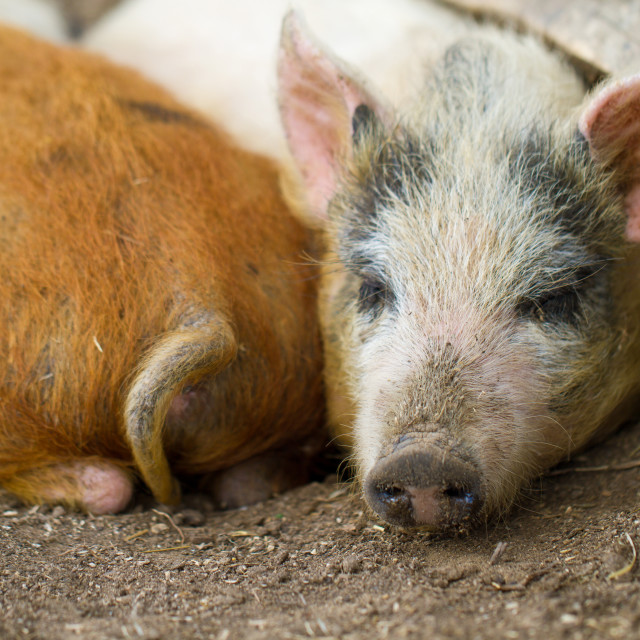 """""""Little pigs"""" stock image"""