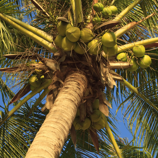 """""""Coconuts hanging on a palm tree"""" stock image"""
