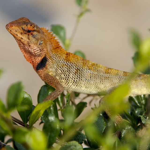 """""""Oriental Garden Lizard, Calotes versicolor"""" stock image"""