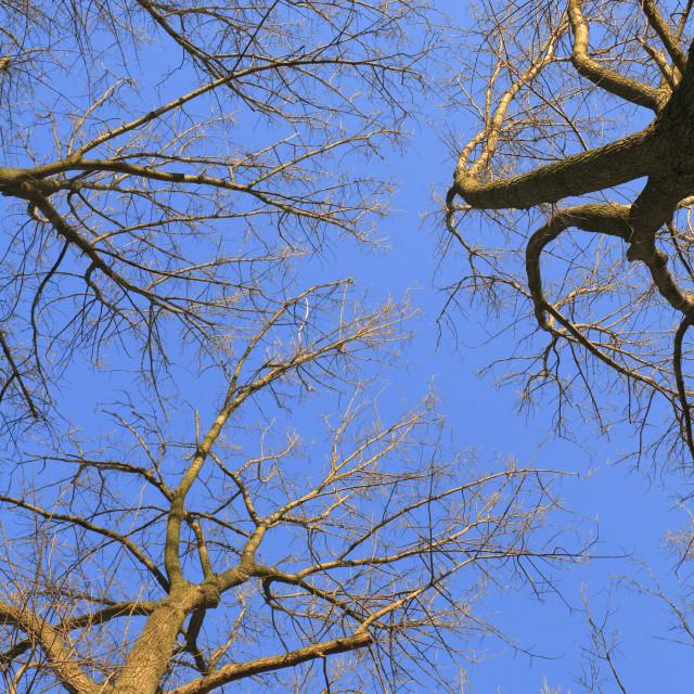 """Tree crowns on deep blue sky"" stock image"