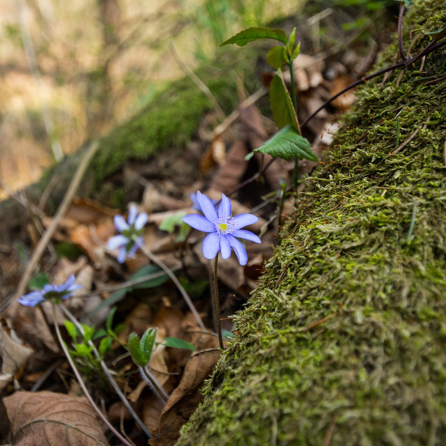 """""""Liverworts in the forest"""" stock image"""