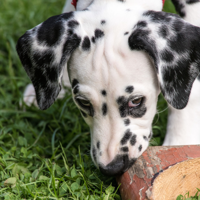 """Dalmation Puppy"" stock image"