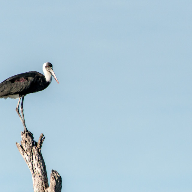 """Woolly-necked Stork"" stock image"