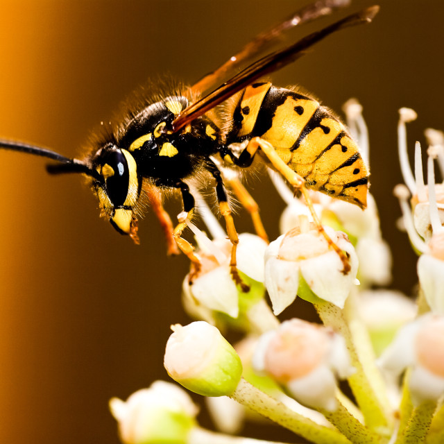 """wasp to forage on white flower 16"" stock image"
