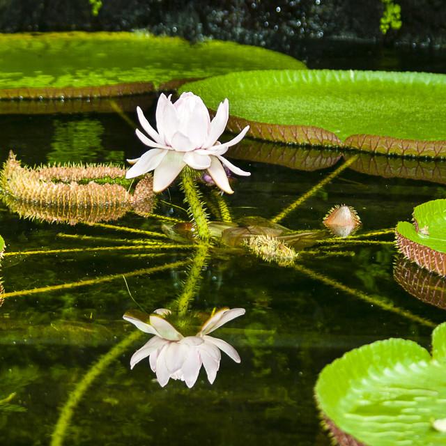 """Victoria Amazonica (giant waterlily)"" stock image"