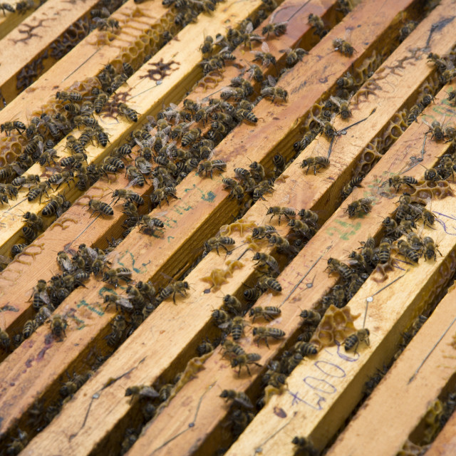 """""""Honeycomb with honey and bees"""" stock image"""
