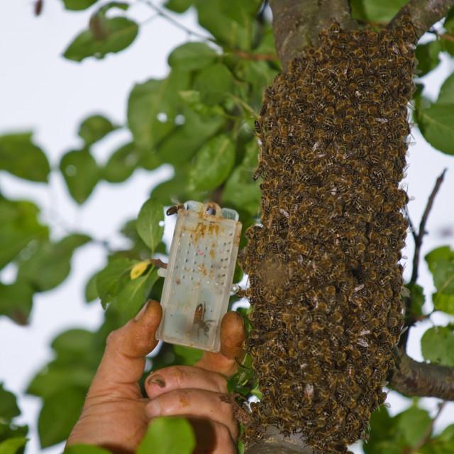 """""""Beekeeper catch bee queen"""" stock image"""