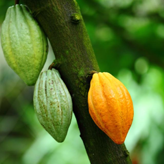 """""""Cocoa pod"""" stock image"""