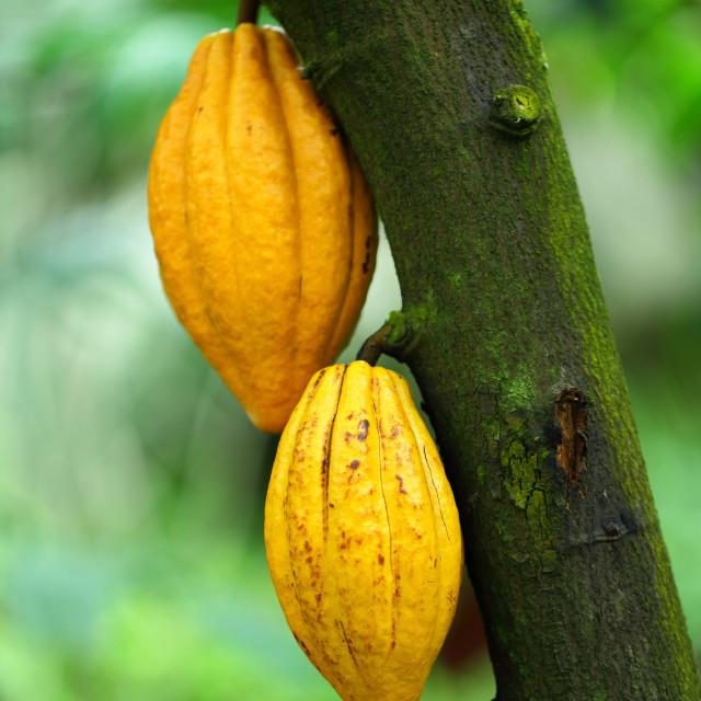 """Cocoa pods"" stock image"