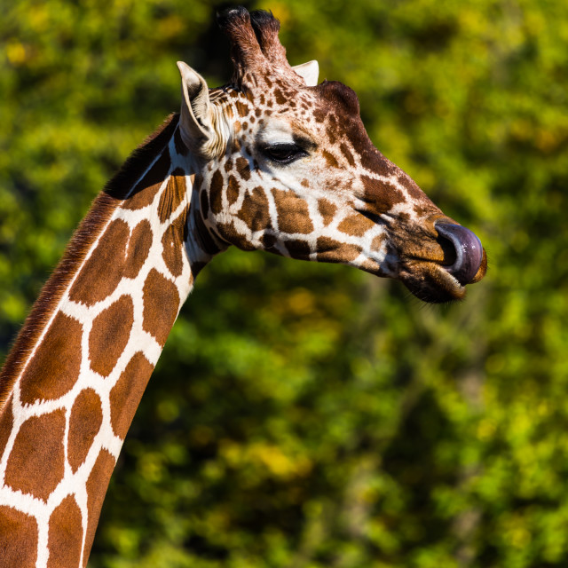 """Chewing Giraffe"" stock image"