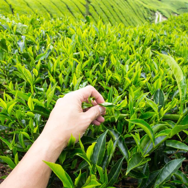 """Hand of adult man plucking tea leaf at Cameron Highland tea plantation."" stock image"