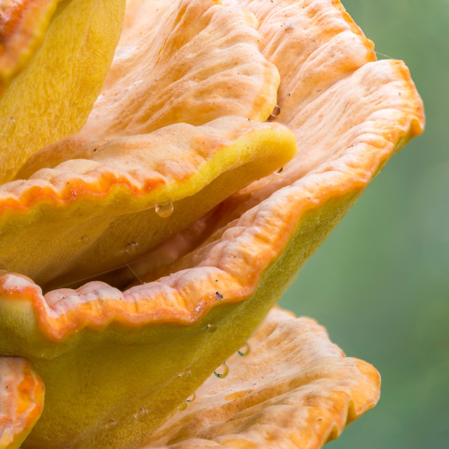 """Chicken of the Woods"" stock image"