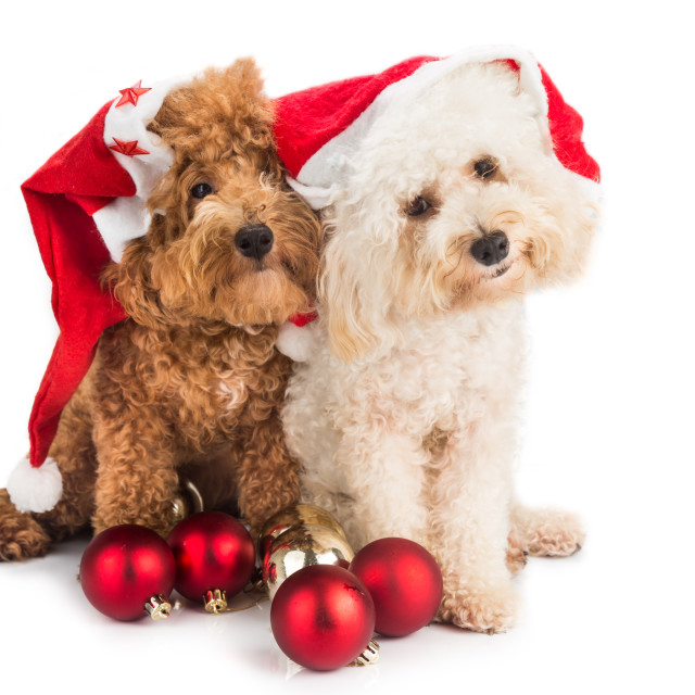 """Two cute poodle puppies in Santa Christmas hat"" stock image"