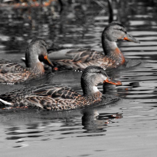 """""""Three Dabbling Ducks"""" stock image"""