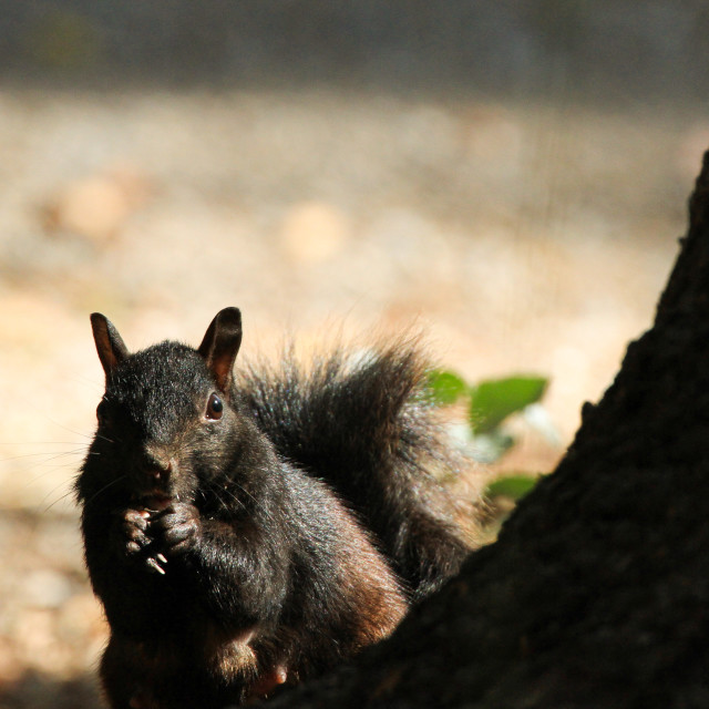 """Momma Black Squirrel"" stock image"
