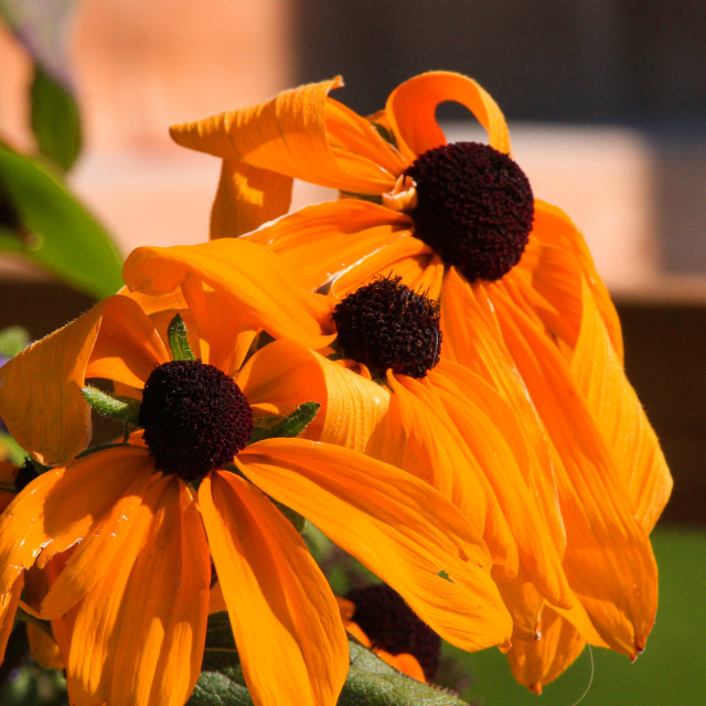 """""""Wilted Rudabeckia"""" stock image"""