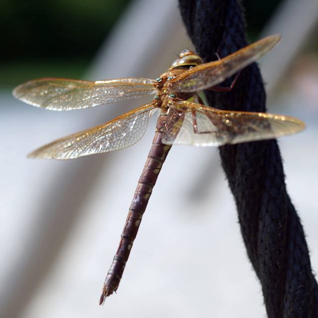 """""""Dragonfly resting on rope"""" stock image"""