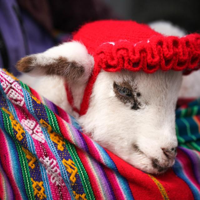 """Baby Alpaca, Cuzco"" stock image"