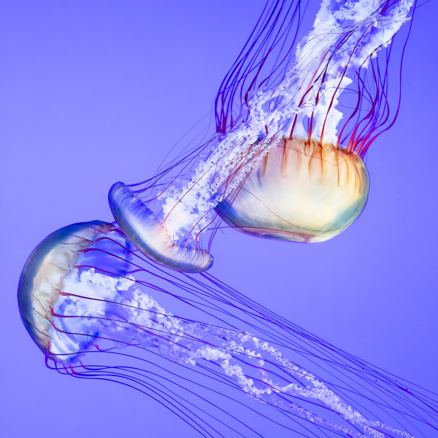 """Jellyfish"" stock image"