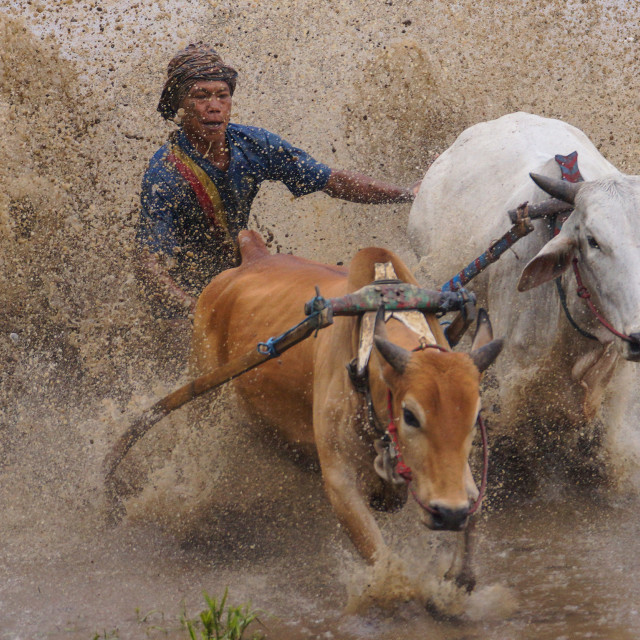 """Jockey at Pacu Jawi"" stock image"