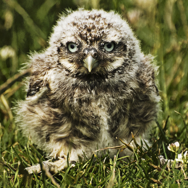 """Little Owl Chick"" stock image"