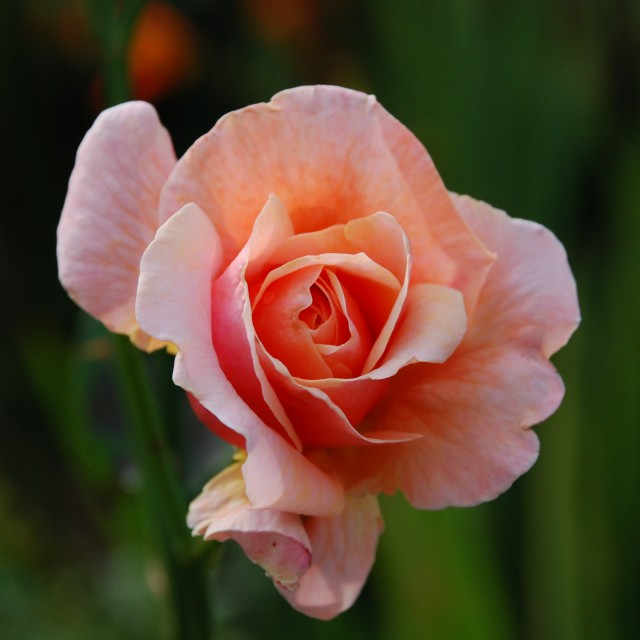 """Peach Rose"" stock image"