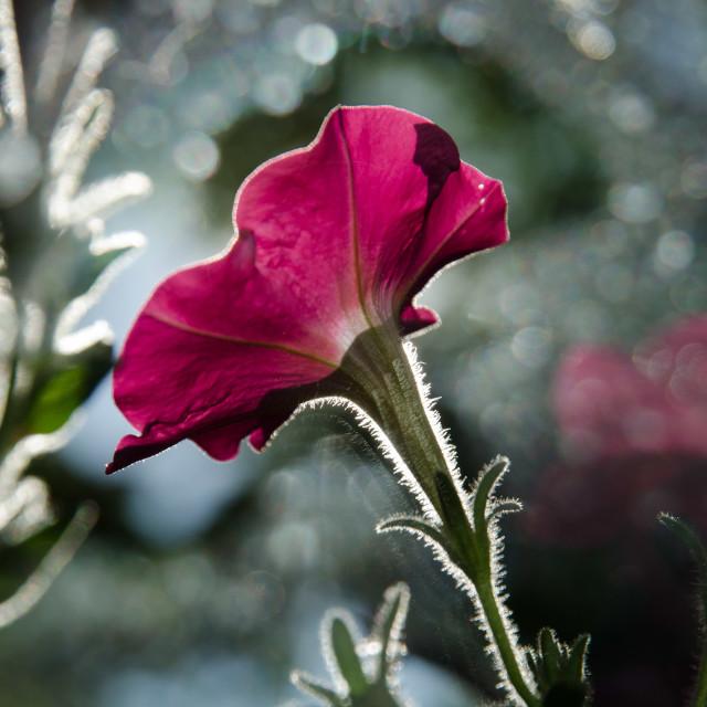 """Backlit petunia"" stock image"