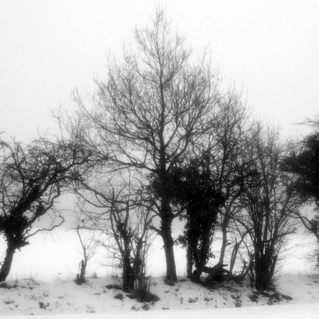 """skeleton of trees in Winter"" stock image"