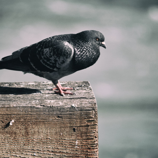 """Pigeon on a Pier"" stock image"