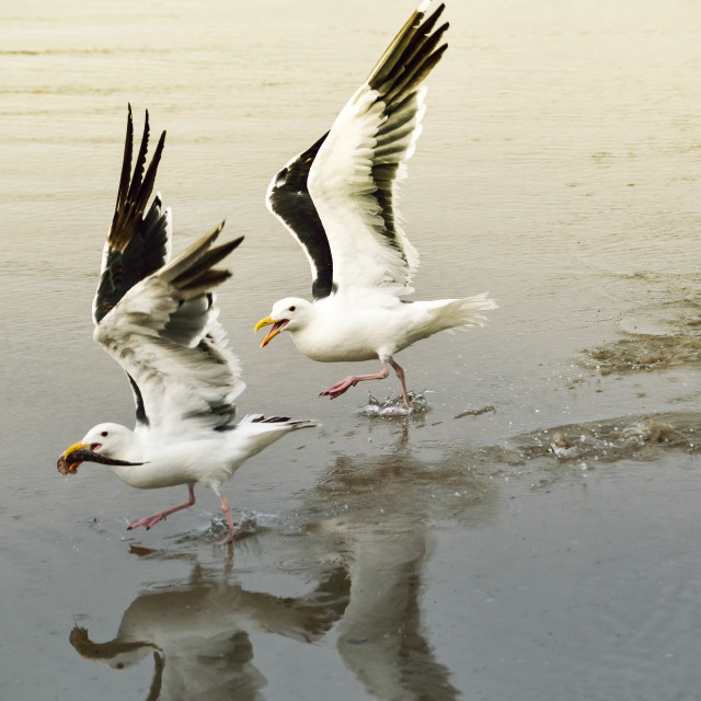 """""""Seagull Food Fight 3 of 4"""" stock image"""