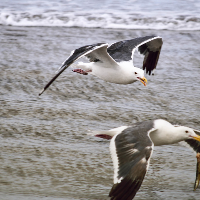 """Seagull Food Fight 2 of 4"" stock image"