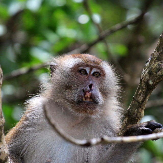 """cleft lip monkey on a tree"" stock image"