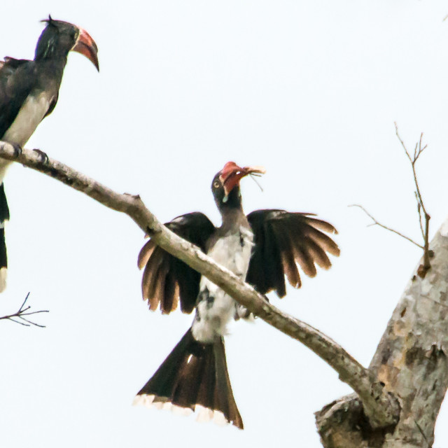 """""""Crowned Hornbill"""" stock image"""
