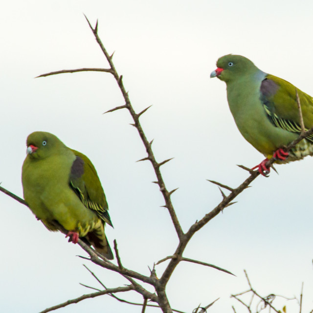"""African Green Pigeons"" stock image"