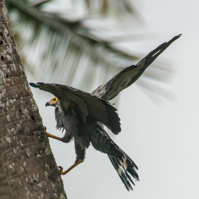 """""""African Harrier Hark"""" stock image"""