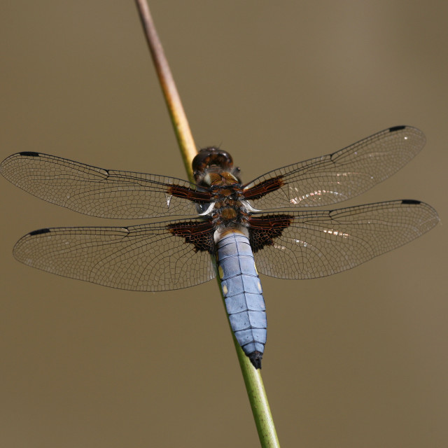 """Black Tailed Skimmer or Chaser or Darter Dragonfly"" stock image"