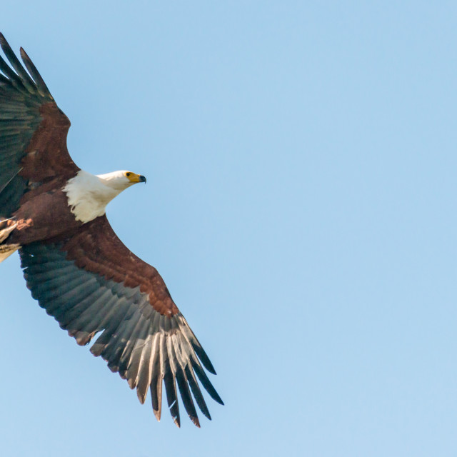 """""""African Fish Eagle"""" stock image"""