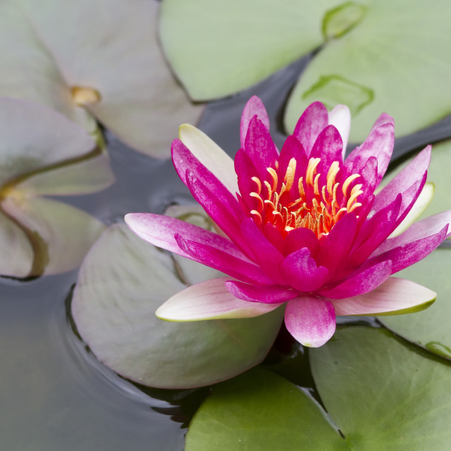 """Lotus flower in bloom in pond."" stock image"