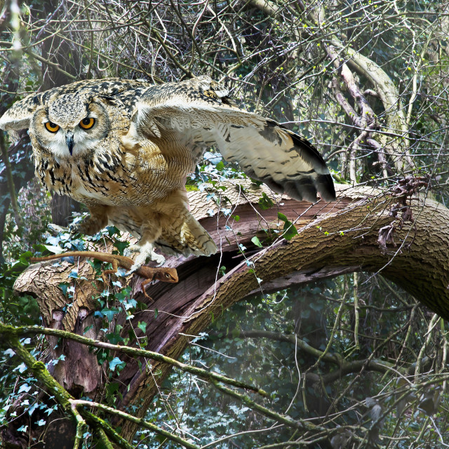 """Eagle Owl with Prey"" stock image"