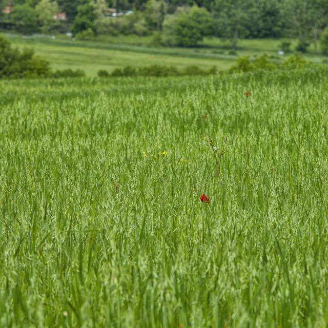 """Red poppy in grass"" stock image"