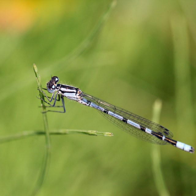 """Narrow Winged or Common Blue Damselfly"" stock image"