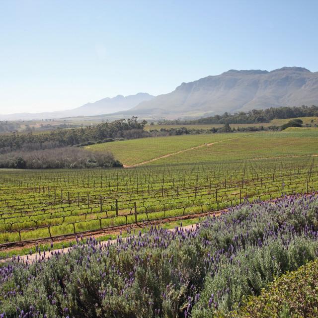 """Ernie Els vineyard Stellenbosch South Africa"" stock image"