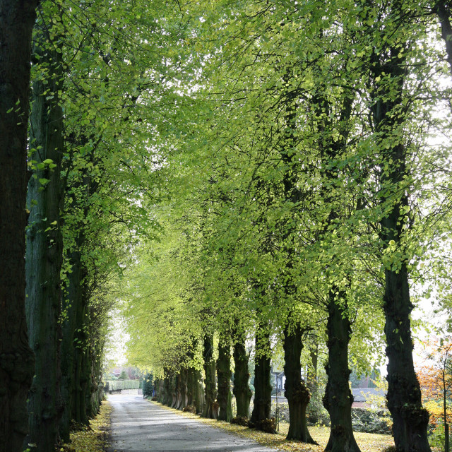 """An avenue of Lime (Tilia) trees on the Wedgwood Estate, Barlaston, Stoke-on-Trent, Staffordshire"" stock image"