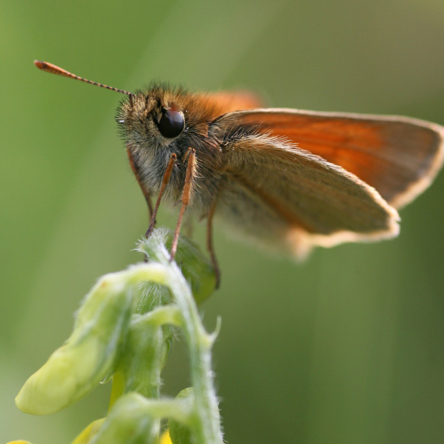 """""""A Small Skipper (Thymelicus sylvestris) Butterfly"""" stock image"""